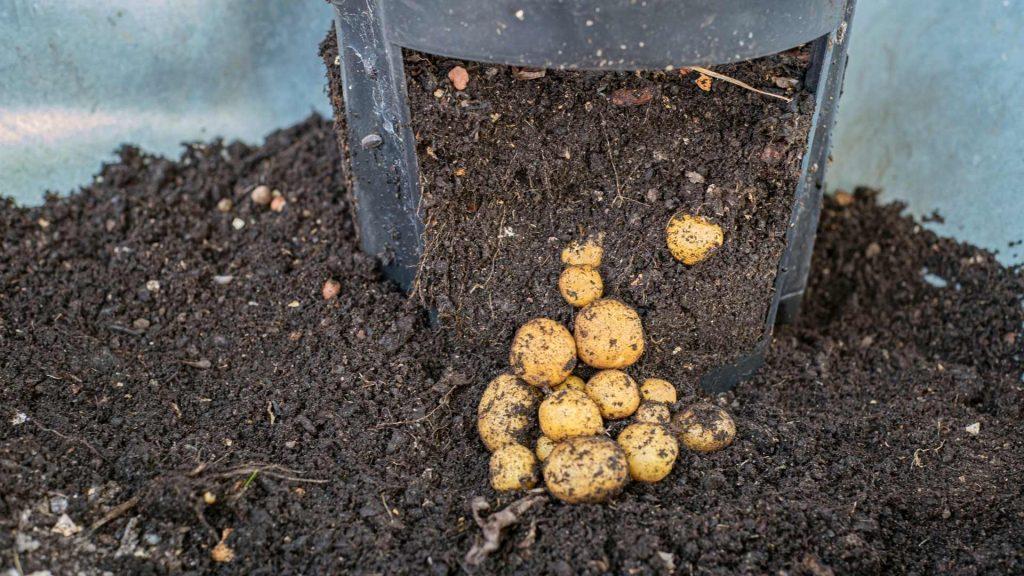 Kartoffeln anbauen im Kübel