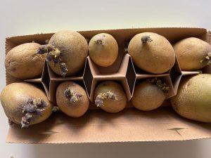 Kartoffeln vorkeimen im Eierkarton